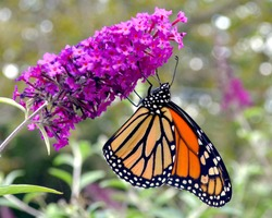 A Monarch Butterfly (Danaus plexippus) hangs upside down while feeding on the nectar of butterfly bush flowers (Buddleja davidii).  Copy space. Closeup.