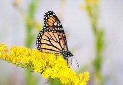 A Monarch butterfly (Danaus plexippus) on goldenrod at Assateague Island National Seashore, Maryland