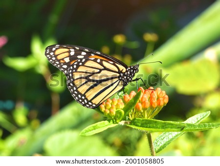A Monarch Butterfly (Danaus plexippus) resting on the orange flower buds of Butterfly weed (Asclepias tuberosa). Copy space. Closeup. Stock photo ©