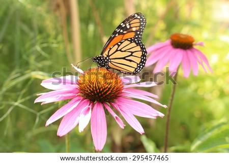 stock-photo-a-monarch-butterfly-danaus-p...457465.jpg