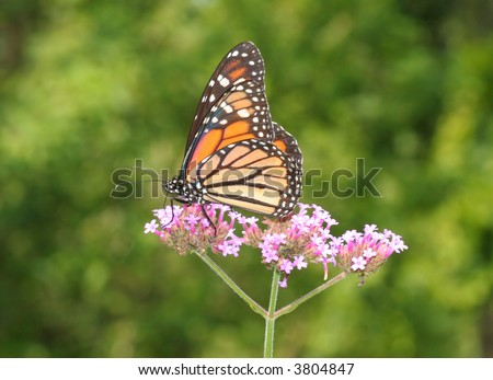 A Monarch Butterfly feeding on a flower