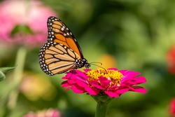 A Monarch Butterfly feeds on a bright pink Zinnia flower in the garden.