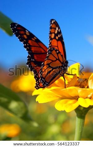 A monarch butterfly lands on a yellow flower, seeking the nectar
