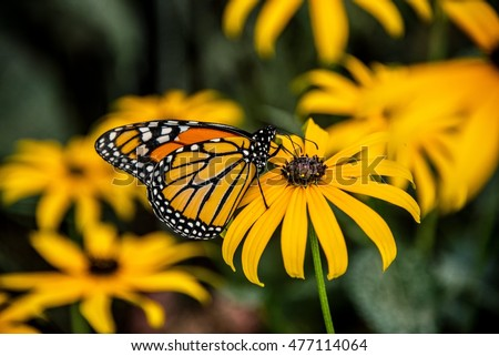 A Monarch Butterfly on a Black-Eyed Susan