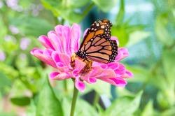 a Monarch butterfly on a purple flower.