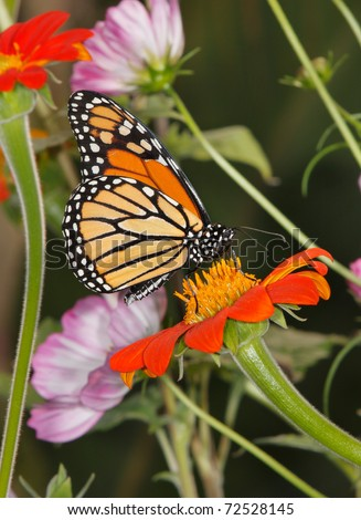 A Monarch Butterfly On An Orange Flower And Surrounded By Flowers, Danaus plexippus - stock photo