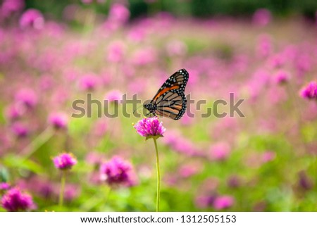 A Monarch butterfly pollinating a bright pink Globe Amaranth