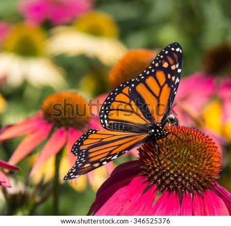A Monarch butterfly, with its wings spread wide, feeds on a purple coneflower. Other, differently colored coneflowers are in soft-focus in the background.