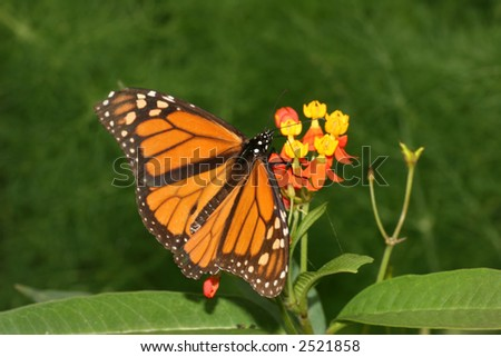 A Monarch butterfly with open wings
