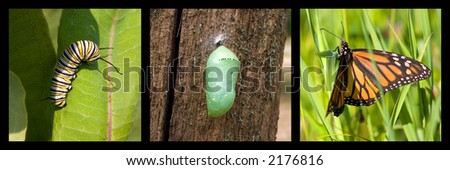 a monarch caterpillar, cocoon, butterfly framed by black