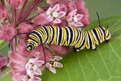 A monarch caterpillar is crawling on flowering milkweed.