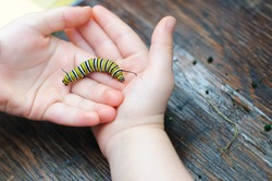 A Monarch caterpillar rests in a child's cupped hands.