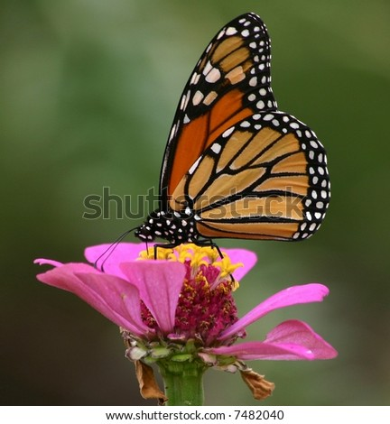 A Monarch in the Garden
