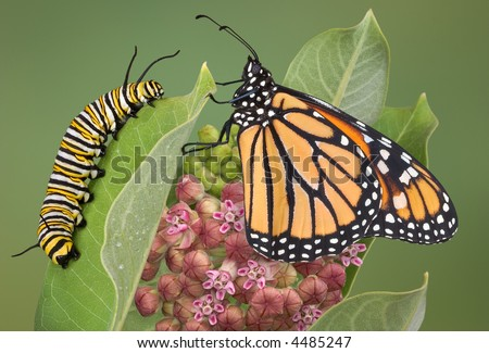 A monarch is sitting with a caterpillar on a milkweed plant.