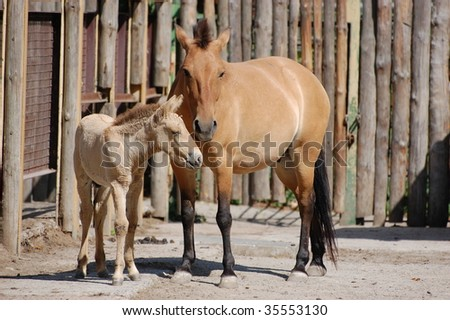 A Mongolian horse - stock photo
