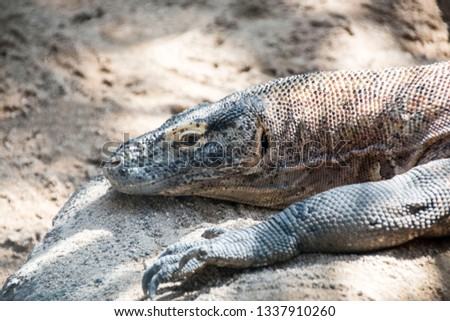 a monitor lizard lying on a rock #1337910260