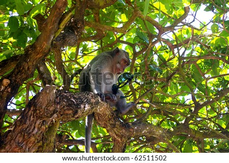A monkey in a tree with sunglasses, which was snatched from a tourist. On the grounds of Pura Luhur, Uluwatu temple, Bali, Indonesia.