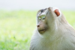 a monkey in considering action with space leaving for caption and blurry background