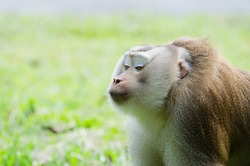 a monkey in kissing action with space leaving for caption and blurry background