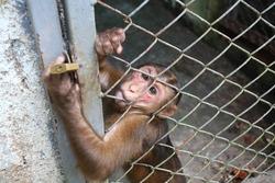 A monkey sits in a zoo behind bars.