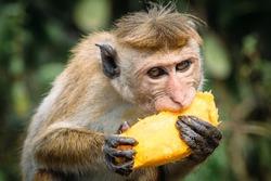 a monkey that eats tasty, sweet, juicy, ripe fruit of the mango