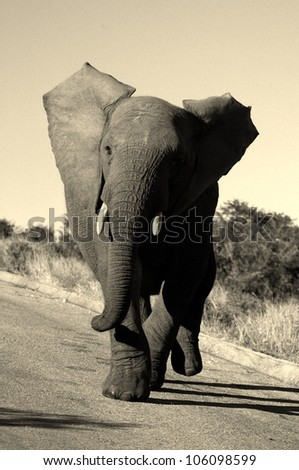 A monochrome action shot of a elephant bull charging my vehicle in Addo elephant national park,eastern cape,south africa