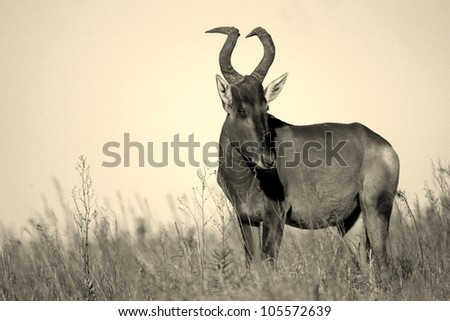 A monochrome / black and white portrait of a beautiful female red hartebeest antelope in Addo elephant national park,eastern cape,south africa
