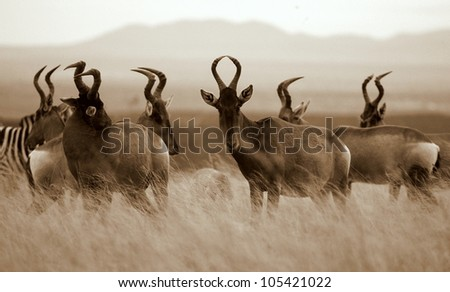 A monochrome / black and white portrait of a herd of red hartebeest antelope in Addo elephant national park,eastern cape,south africa