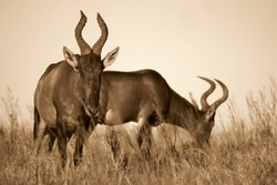 A monochrome / black and white portrait of a male and female red hartebeest antelope in Addo elephant national park,eastern cape,south africa