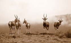 A monochrome photo of a herd of blesbuck antelope with a misy mountain as the background. Taken in South Africa.