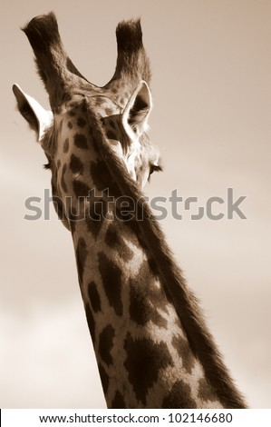 A monochrome photo of an elegant giraffe. Showing off its beautiful curves. Eastern cape,south africa