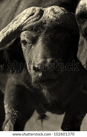 A monochrome portrait of a big, mean looking male Cape buffalo bull. Eastern Cape, South Africa