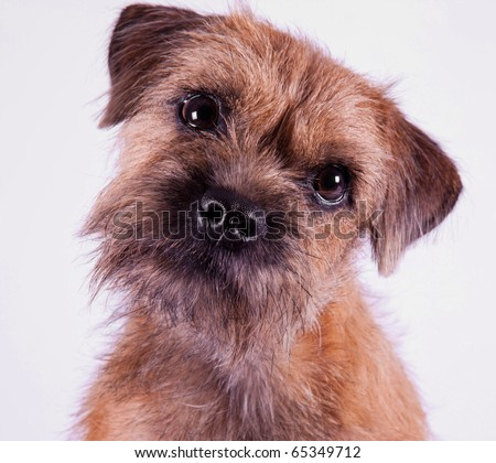 Border Terrier Puppies on Stock Photo   A 9 Month Old Border Terrier Puppy Posing Inside On