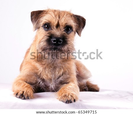 a 9 month old Border Terrier Puppy posing inside on white background #65349715