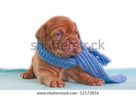 A month old puppy of dogue de bordeaux with a shawl looking aside - stock photo