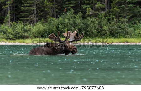 A moose is taking a bath and eating from Fishercap Lake in Glacier National Park