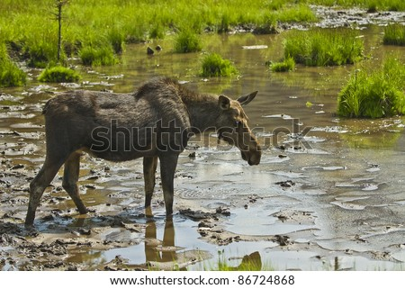 A moose near Spray lake in the Canadian Rockies near Canmore Alberta Canada. #86724868