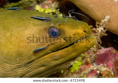 A moray eel is getting cleaned by some cleaner shrimp and cleaner fish.   The cleaning is done to remove tiny parasites that the shrimp
