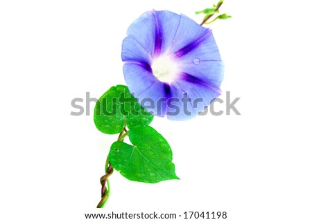 A morning glory isolated on a white background. Used a soft focus to add elegance to the flower.