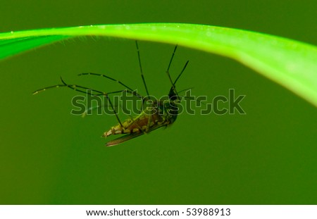 A mosquito resting on a blade of grass