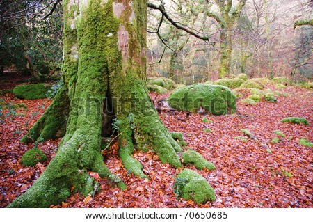 a moss covered tree trunk stands in a winter woodland surrounded by a carpet of fallen leaves