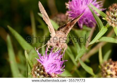 A moth feeding on a purple flower