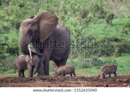 A mother African elephant with only one tusk protects her baby from two warthogs running in the mud #1352635040