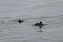 A mother and baby porpoise play in the cold waters of the bay of Fundy in New Brunswick
