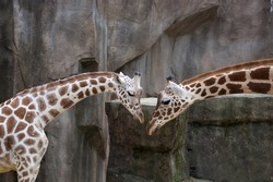 A mother and child giraffe stretch out their necks towards each other in a sign of affection.