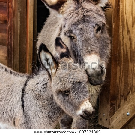 A Mother and her baby...Adorable closeup of a mother miniature donkey loving her foal