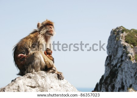 A mother ape sitting with its child on a rock in Gibraltar (UK) and is breastfeeding the small one. Apes are our early ancestors.