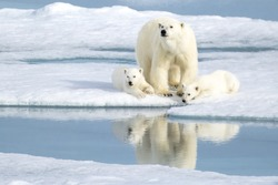 A mother bear keeping an eye as her two cubs rest peacefully by her side in the Norwegian Arctic in Svalbard