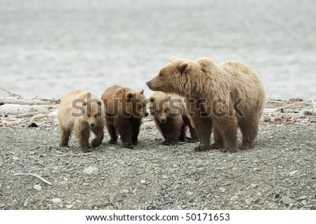 A mother brown bear with her three cubs. #50171653