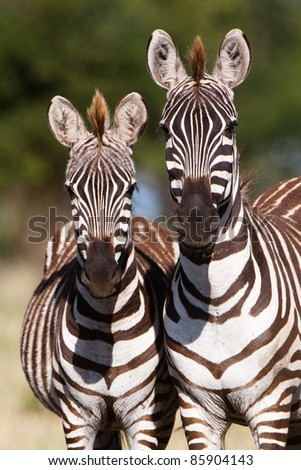 A mother Burchell's zebra next to her young foal